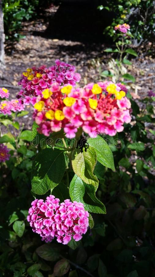 Pianta di fioritura rosa fotografie stock
