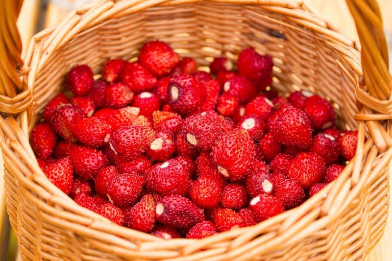 Pianta di fragola Bacche deliziose mature rosse succose di paglia selvaggia fotografia stock