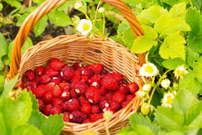 Pianta di fragola Bacche deliziose mature rosse succose di paglia selvaggia immagini stock libere da diritti