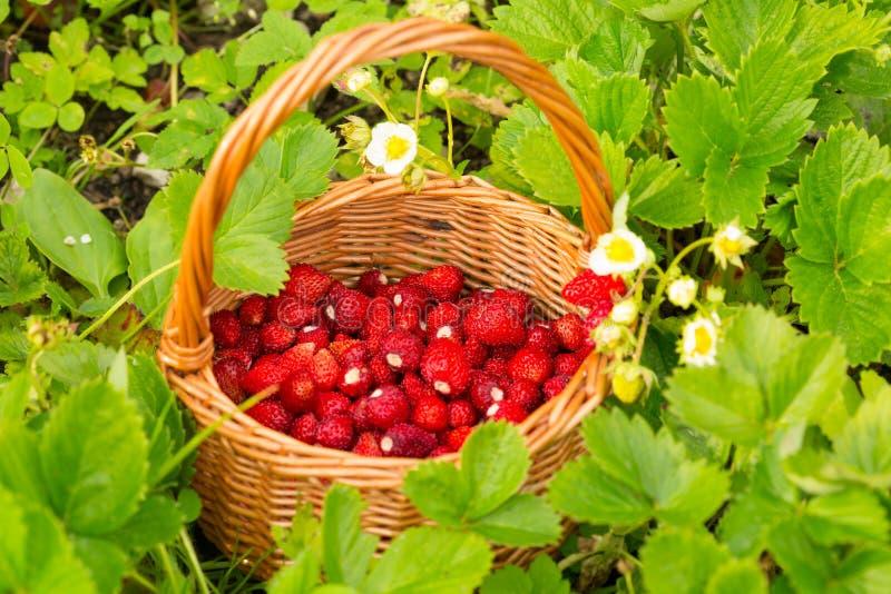 Pianta di fragola Bacche deliziose mature rosse succose di paglia selvaggia fotografia stock libera da diritti