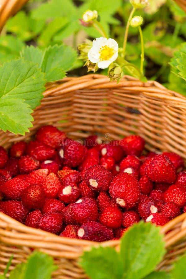 Pianta di fragola Bacche deliziose mature rosse succose di paglia selvaggia fotografie stock