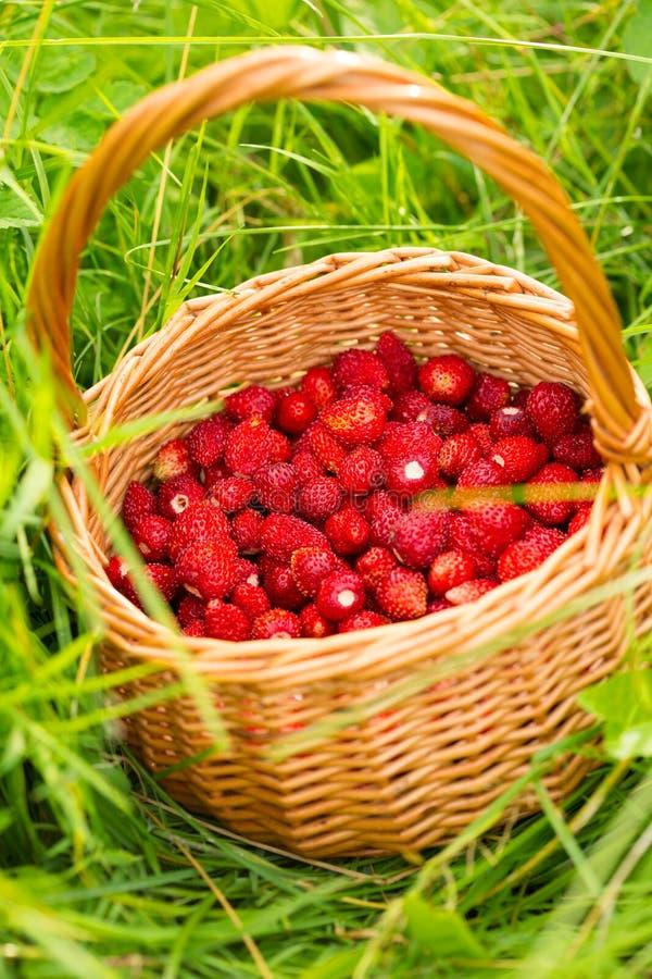 Pianta di fragola Bacche deliziose mature rosse succose di paglia selvaggia immagine stock