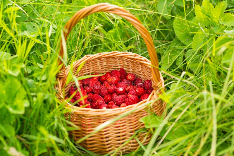 Pianta di fragola Bacche deliziose mature rosse succose di paglia selvaggia immagini stock