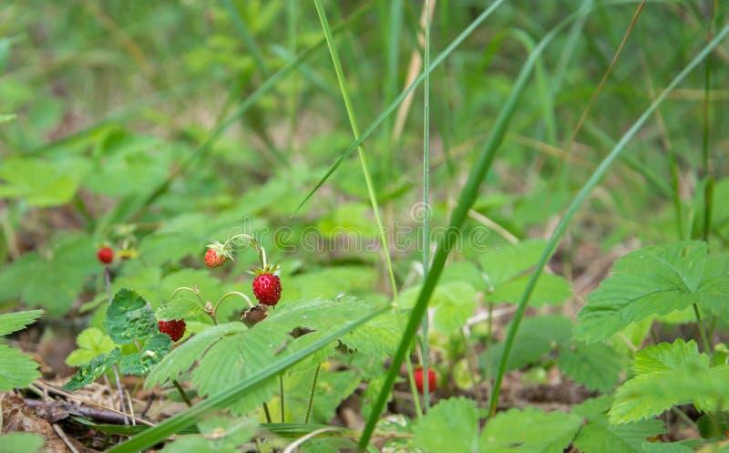 Pianta di fragola di bosco con le foglie verdi e la frutta rossa matura nella foresta immagini stock libere da diritti