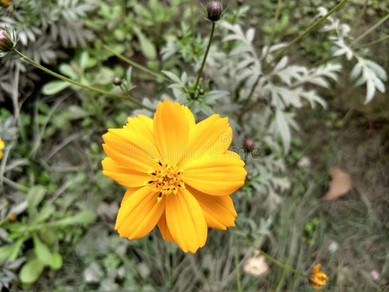 Pianta di grande appena o fiore o foglia giallo sopportato immagini stock