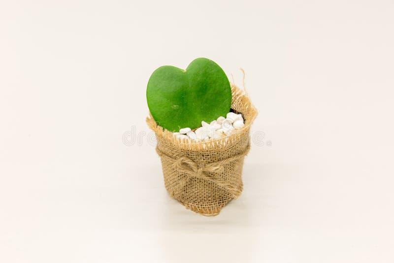 Pianta di kerrii di Hoya in vaso fotografia stock libera da diritti