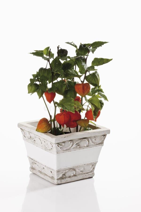 Pianta di lanterna cinese (alkekengi del Physalis) in vaso di fiore immagine stock