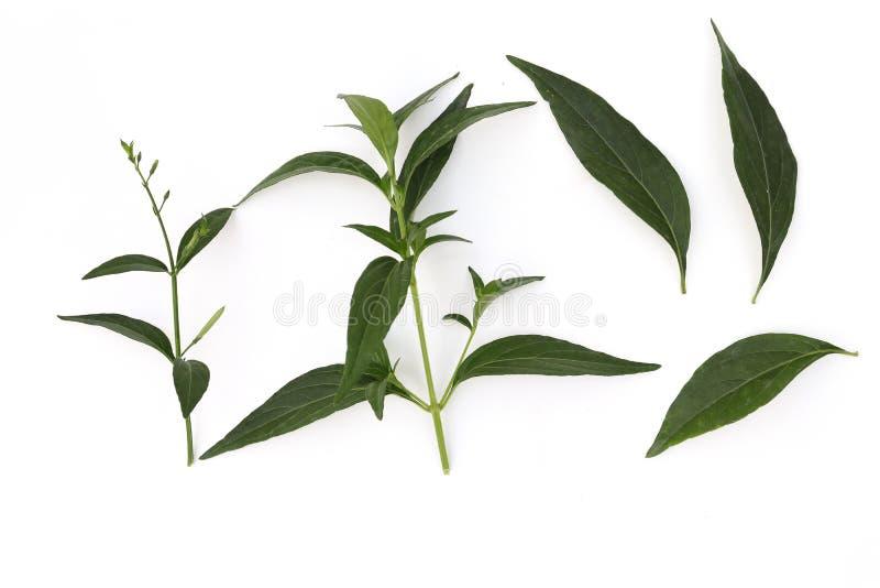 Pianta di paniculata di Andrographis, di erbe di verde di paniculata di Andrographis isolata su fondo bianco fotografia stock libera da diritti
