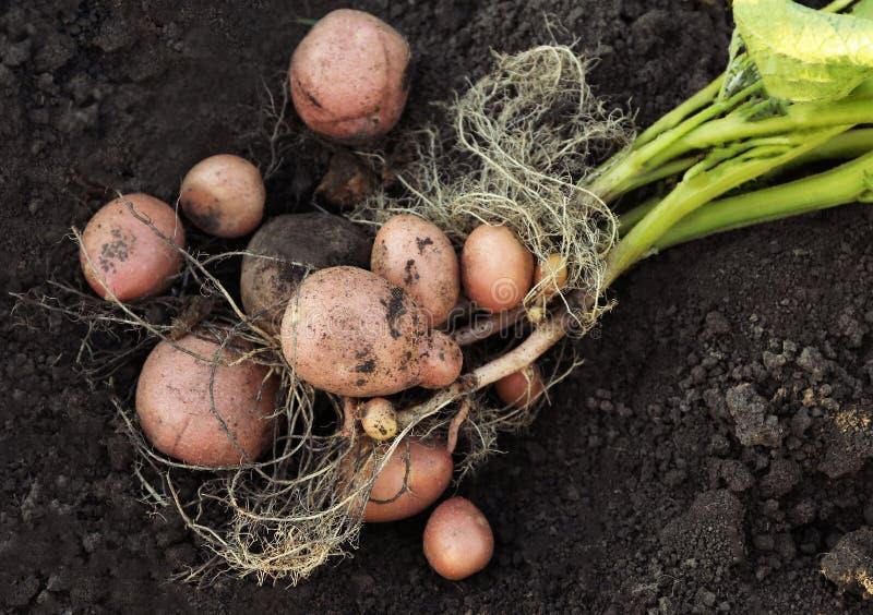 Pianta di patate con i tuberi su suolo, immagine stock libera da diritti