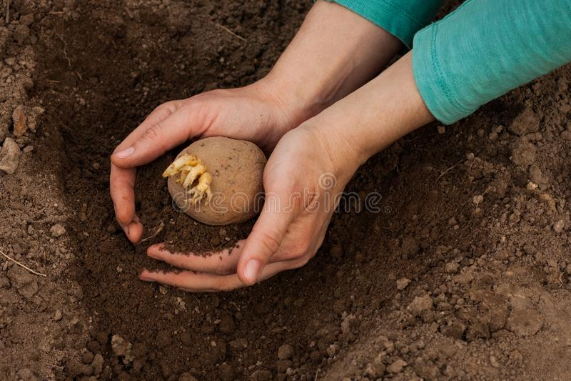 Pianta di patate con terra sulle mani delle donne immagini stock