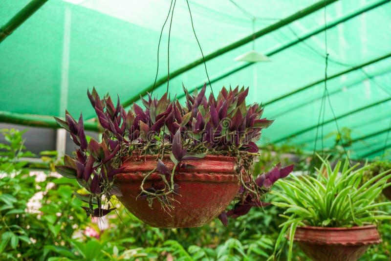 Pianta di pentola sul mio giardino Veranda L'orchidea era appesa in vaso, messa a fuoco selettiva e sfondo sfuocato fotografie stock libere da diritti
