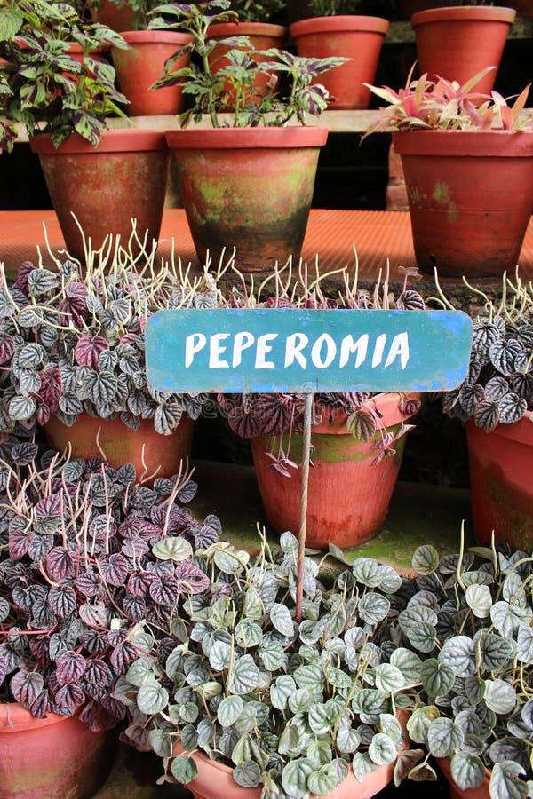 Pianta di Peperomia fotografia stock libera da diritti