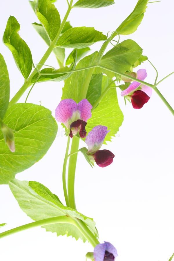 Pianta di pisello con i fiori immagine stock immagine di for Pianta fiori viola