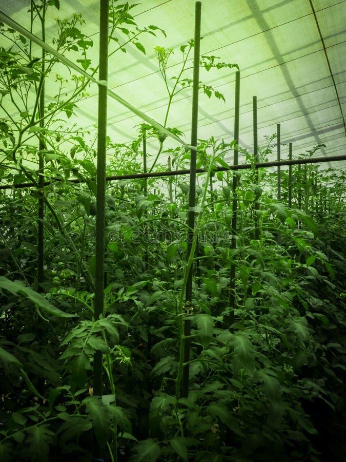 Pianta di pomodori immagini stock libere da diritti