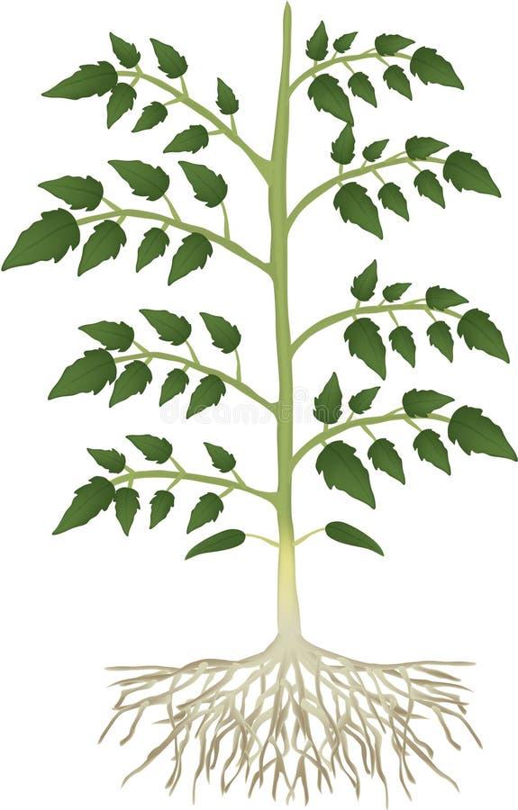 Pianta di pomodori illustrazione vettoriale