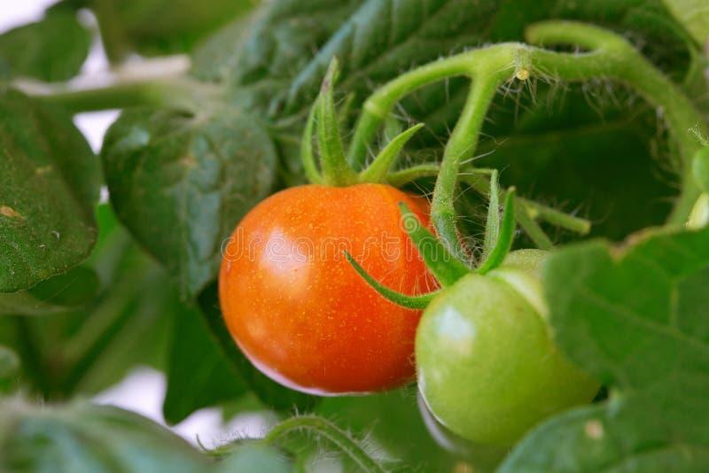 Pianta di pomodori fotografia stock libera da diritti