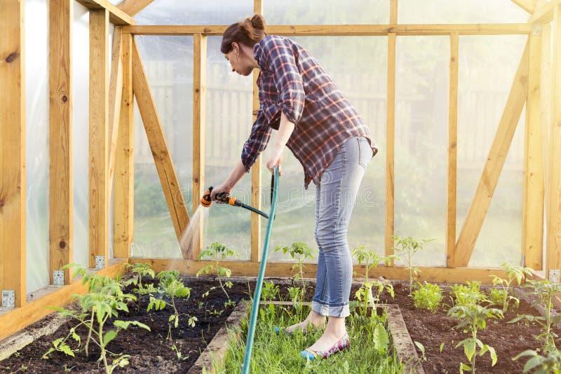 Pianta di pomodori d'innaffiatura della piantina in serra con il tubo flessibile d'innaffiatura, fotografia stock