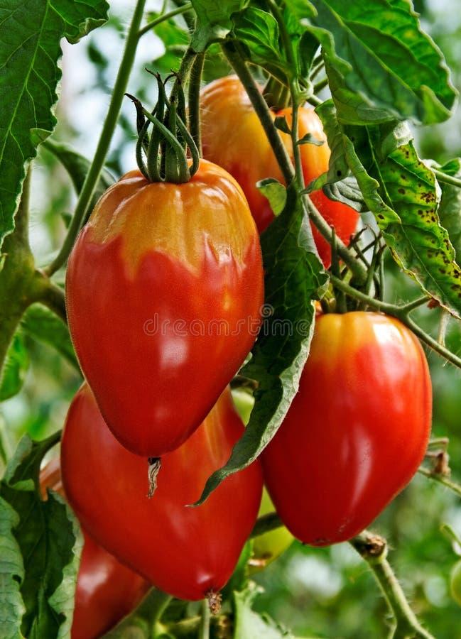 Pianta di pomodori malata. immagini stock libere da diritti