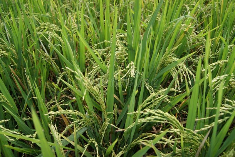 Pianta di riso di Grwowing fotografia stock