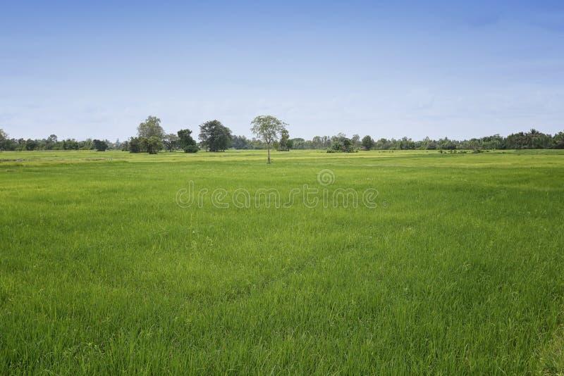 Pianta di riso nel campo e nel cielo blu crescenti fotografia stock libera da diritti