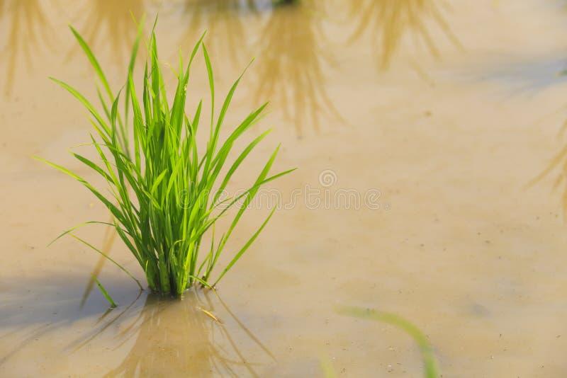Pianta di riso nel giacimento del riso immagine stock libera da diritti