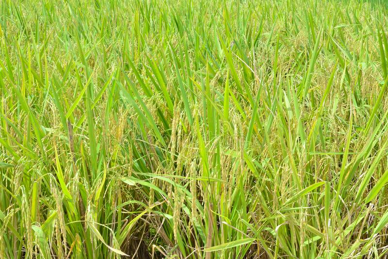 Pianta di riso, preraccolta fotografia stock libera da diritti