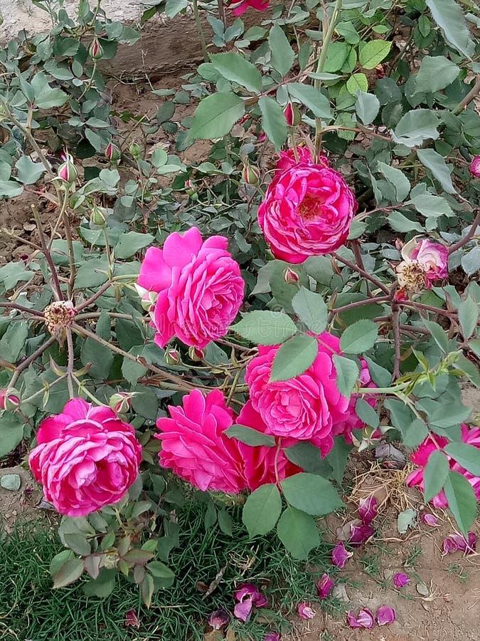Pianta di Rosa fotografia stock libera da diritti
