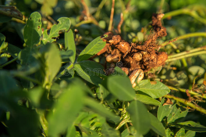 Pianta di seme dell'arachide naturale immagini stock libere da diritti