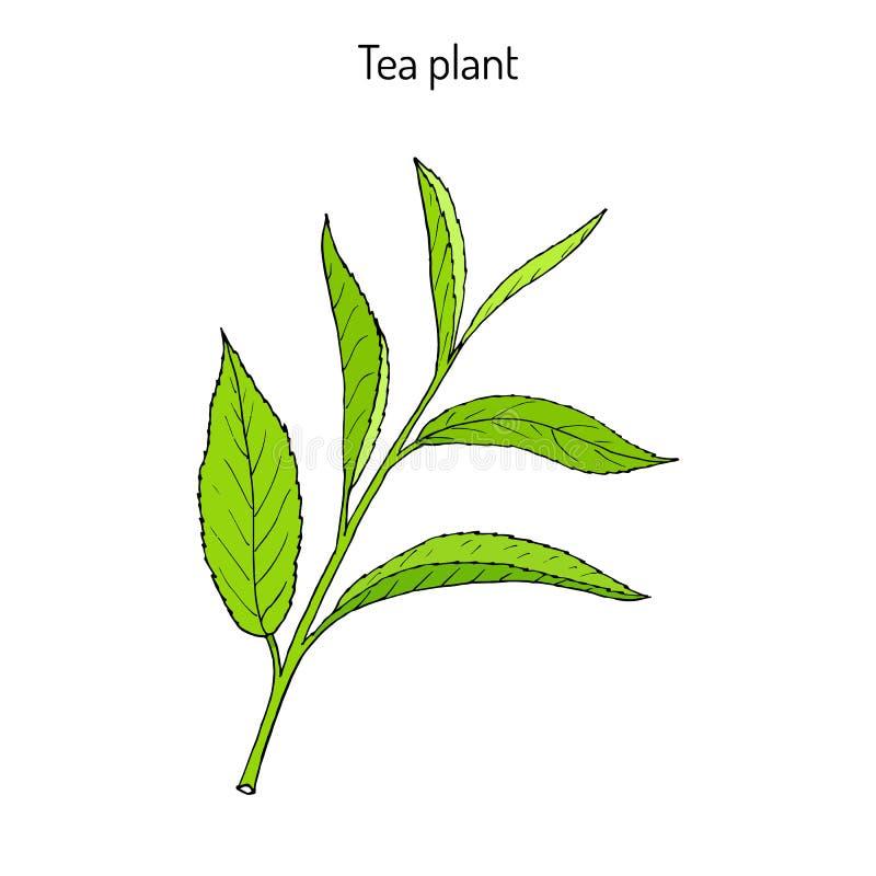 Pianta di tè Camellia Sinensis illustrazione vettoriale