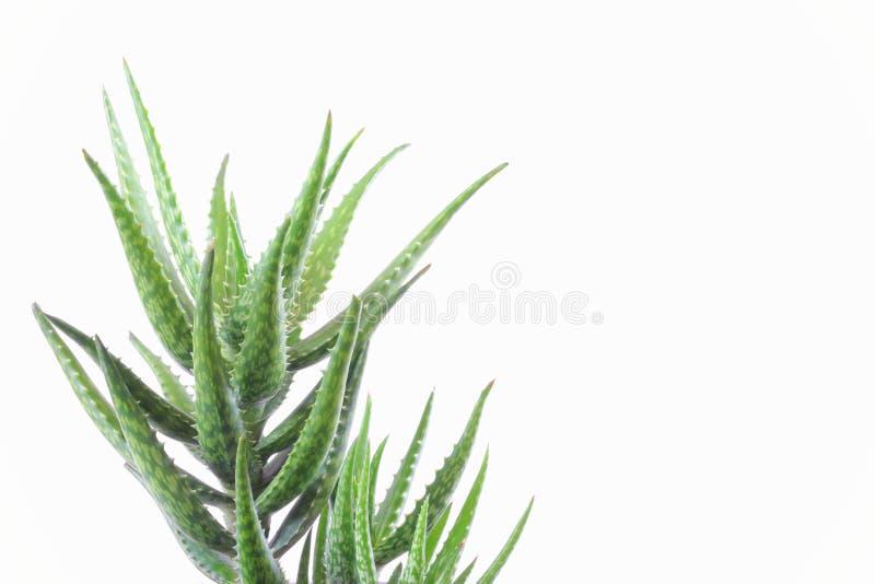 Pianta di vera dell'aloe isolata su bianco immagini stock
