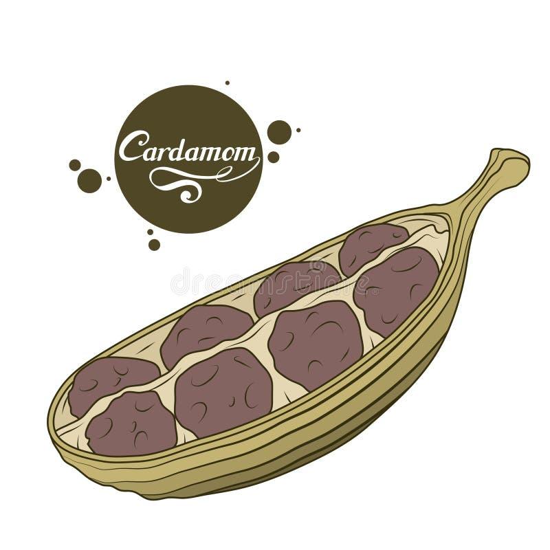 Pianta disegnata a mano del cardamomo, ingrediente piccante, logo del cardamomo, alimento biologico sano, cardamomo della spezia  illustrazione vettoriale