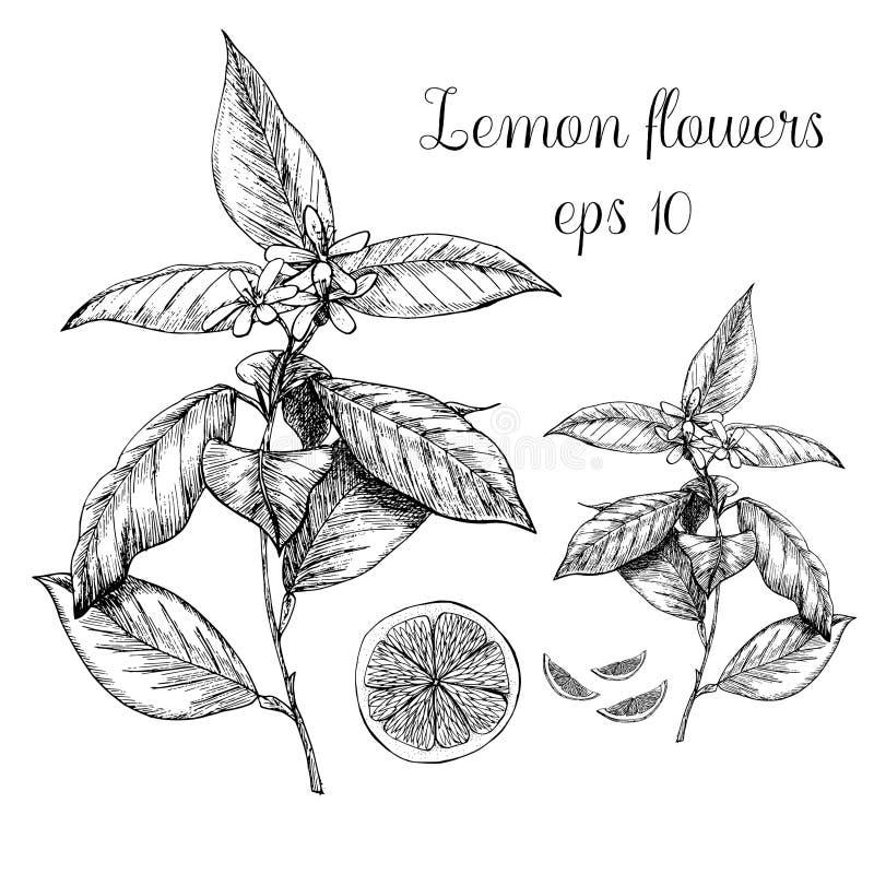 Pianta disegnata a mano del limone illustrazione vettoriale