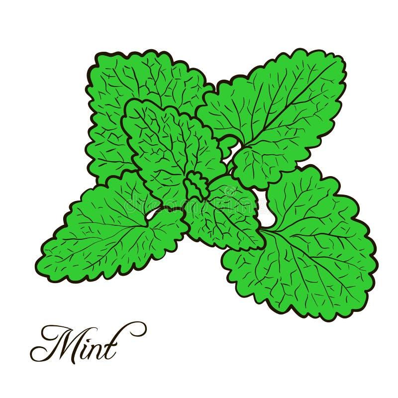 Pianta disegnata a mano della menta con le foglie royalty illustrazione gratis