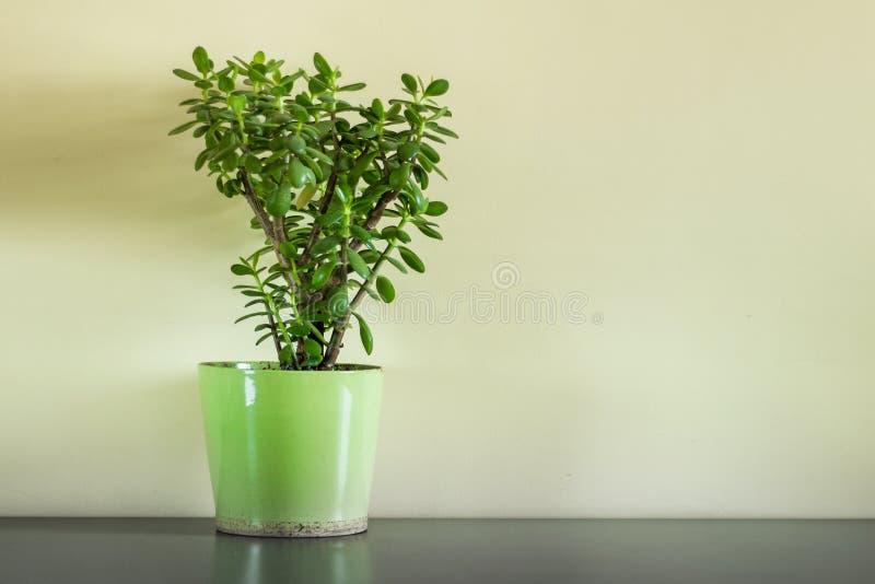 Pianta domestica conservata in vaso - albero dei soldi che sta sulla tavola immagini stock libere da diritti