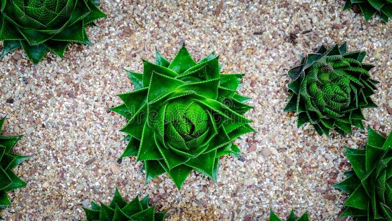Pianta domestica del cactus sull'piccole pietre Vista del primo piano fotografia stock