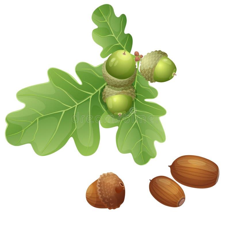 Pianta e dadi della quercia illustrazione di stock