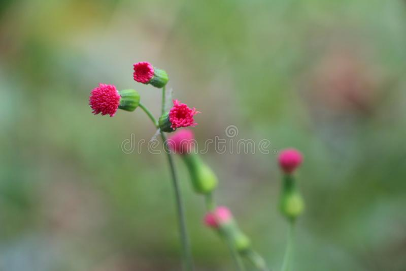 Pianta e fiore fragili rosa - fiori di Matagalpa Nicaragua fotografia stock libera da diritti