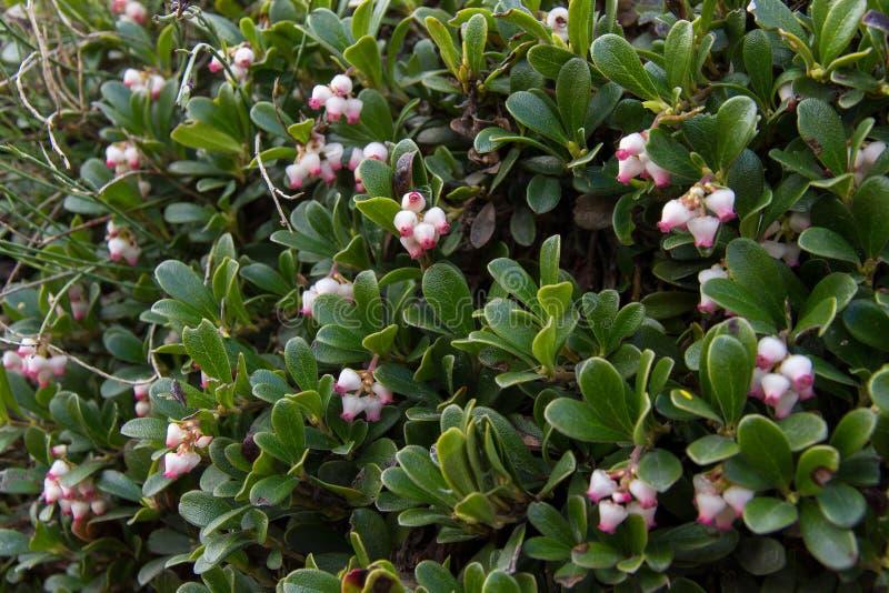 Pianta e fiori dell'uva orsina fotografie stock