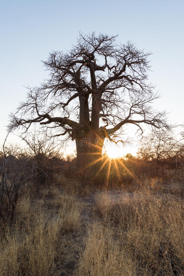 Pianta enorme del baobab nella savana africana con chiaro cielo blu ad alba Il Botswana, uno del destionation di viaggio più attr fotografia stock