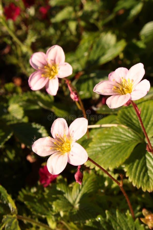 Pianta fiorita rosa che cresce nel rockery immagine stock libera da diritti