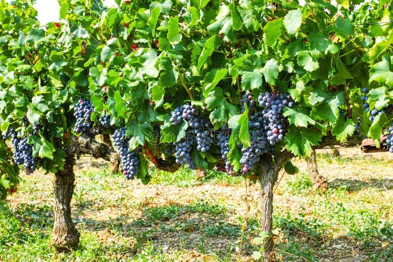 Pianta francese degli acini d'uva di rosso AOC, nuovo raccolto dell'acino d'uva dentro immagine stock libera da diritti