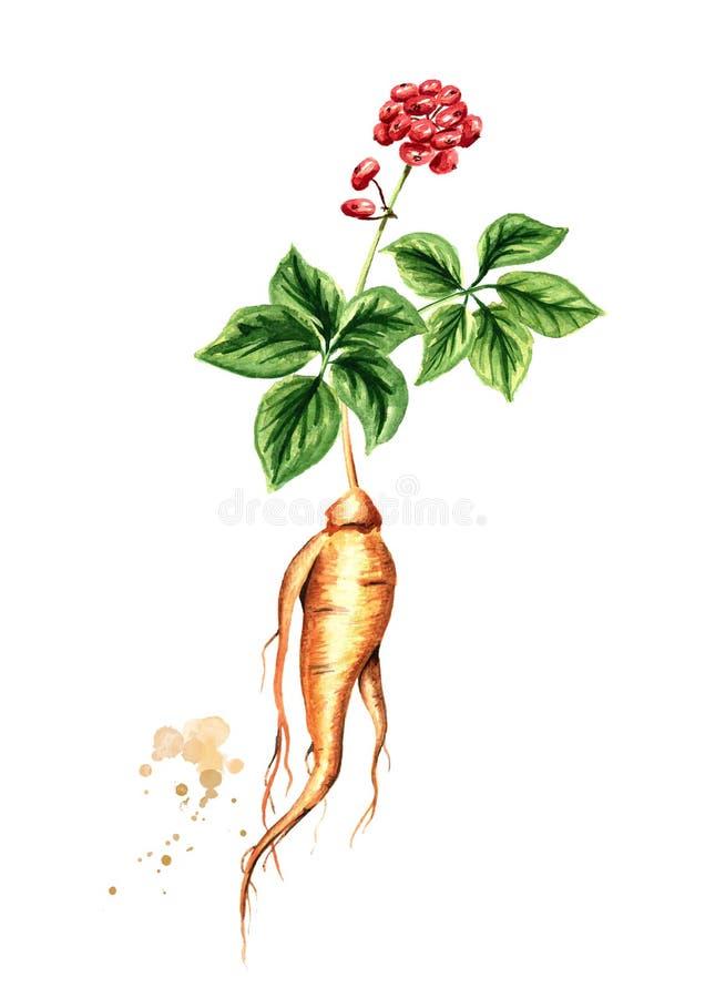 Pianta fresca organica del ginseng con la radice, la foglia verde ed il fiore rosso Illustrazione disegnata a mano dell'acquerell illustrazione vettoriale