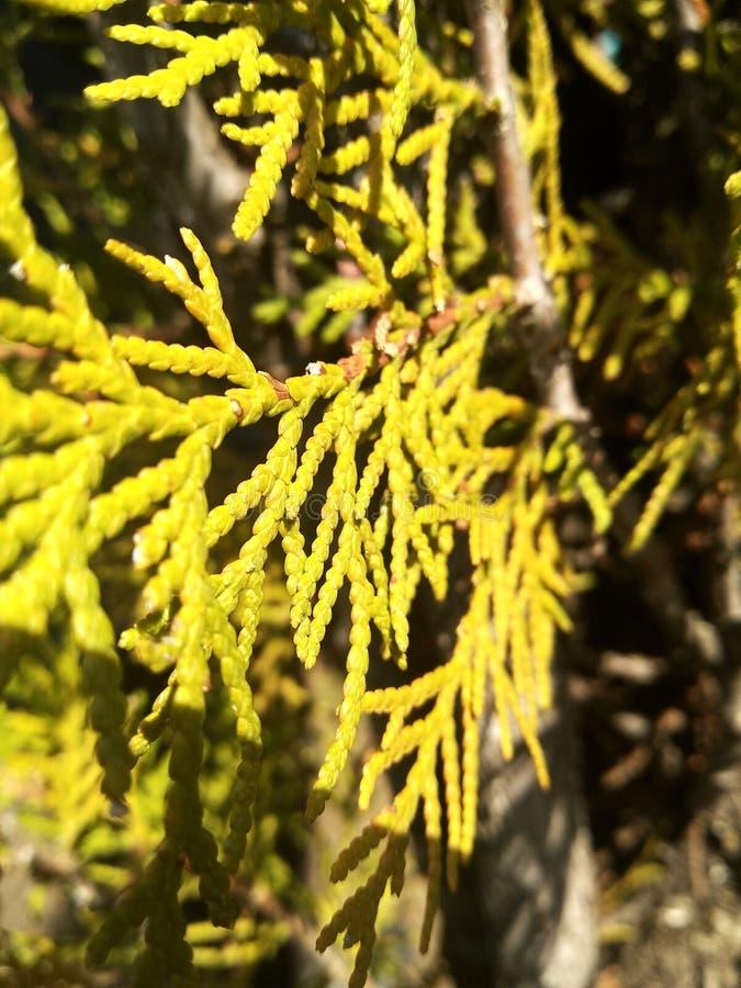 Pianta giallo verde fotografie stock libere da diritti