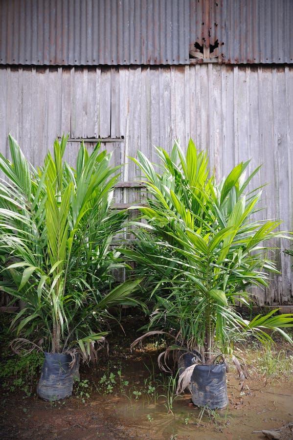 Pianta grezza dell'olio di palma immagini stock