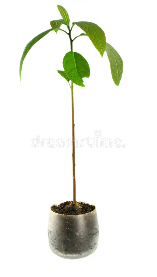 Pianta /isolated/ - houseplant dell'avocado fotografia stock libera da diritti