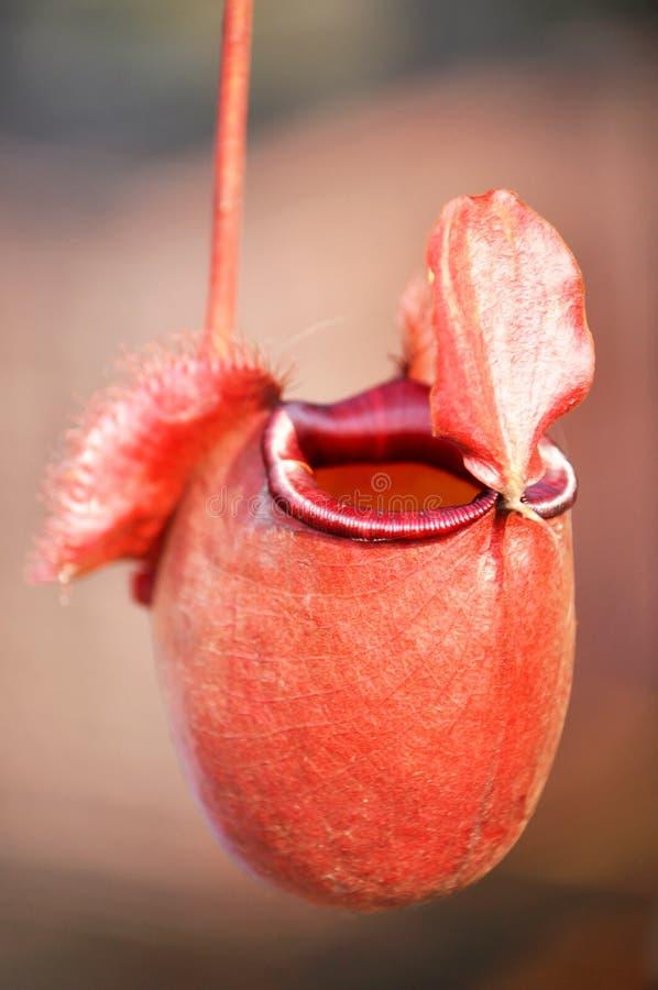 Pianta lanciatore o della tazza tropicale della scimmia for Piante carnivore prezzi