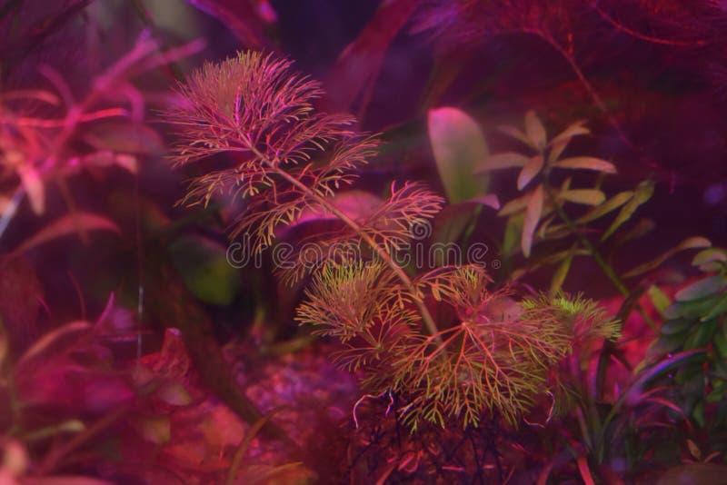 Pianta lanuginosa dell'acquario alla luce di contrapposizione fotografia stock libera da diritti
