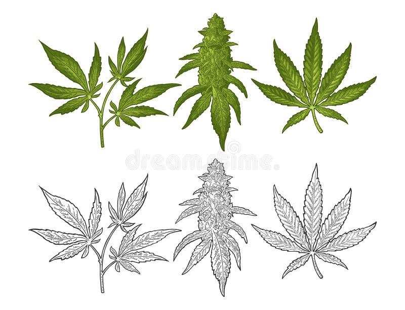Pianta matura della marijuana con le foglie ed i germogli Illustrazione dell'incisione di vettore royalty illustrazione gratis