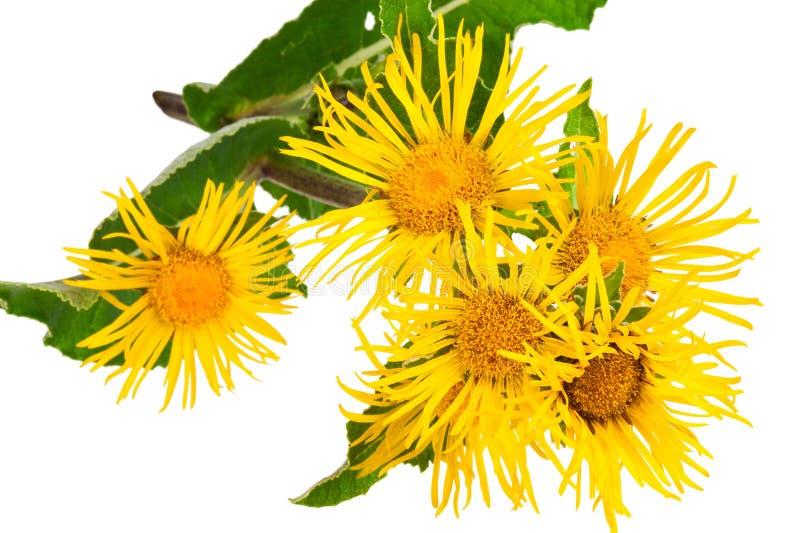 Pianta medicinale Enula campana (helenium di Inula) fotografie stock libere da diritti