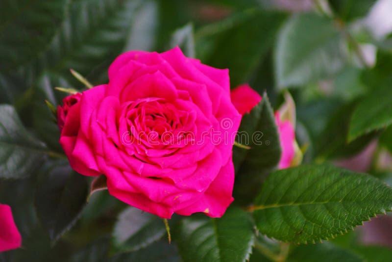 Pianta miniatura della casa di Rosa in vaso di fiore fotografia stock libera da diritti